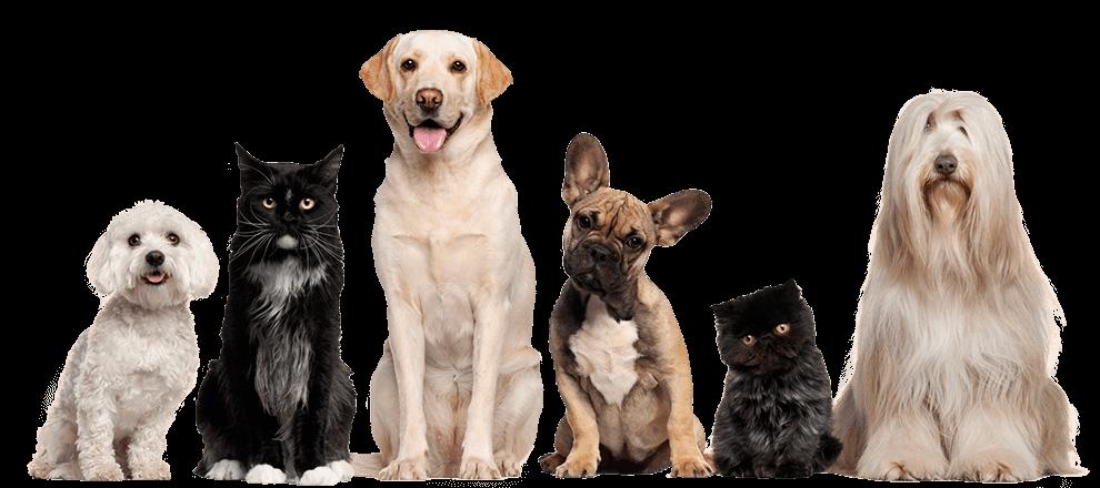 cría y selección westie, westy, pastor aleman, pastor australiano, scottish terrier