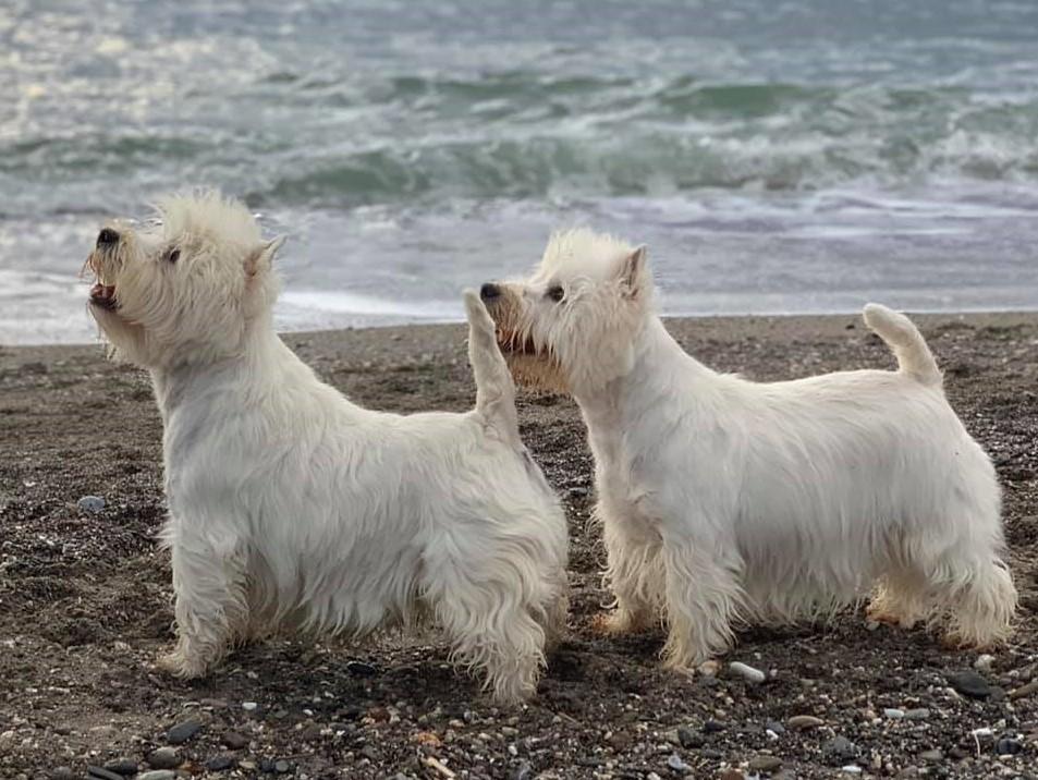 2 Westie en la playa