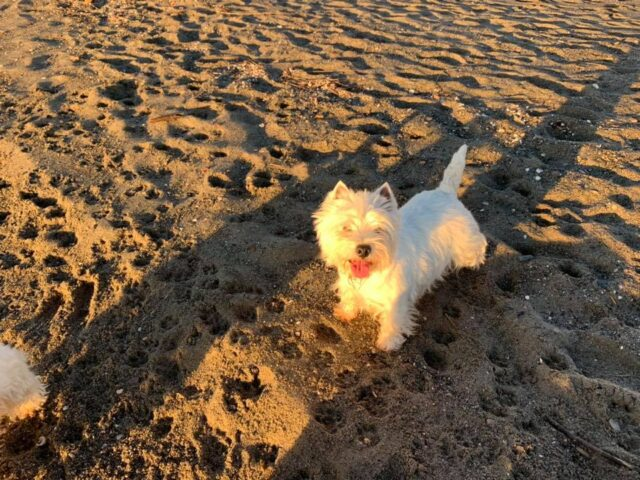 bahia-de-txingudi-westy-westie-west-highland-white-terrier