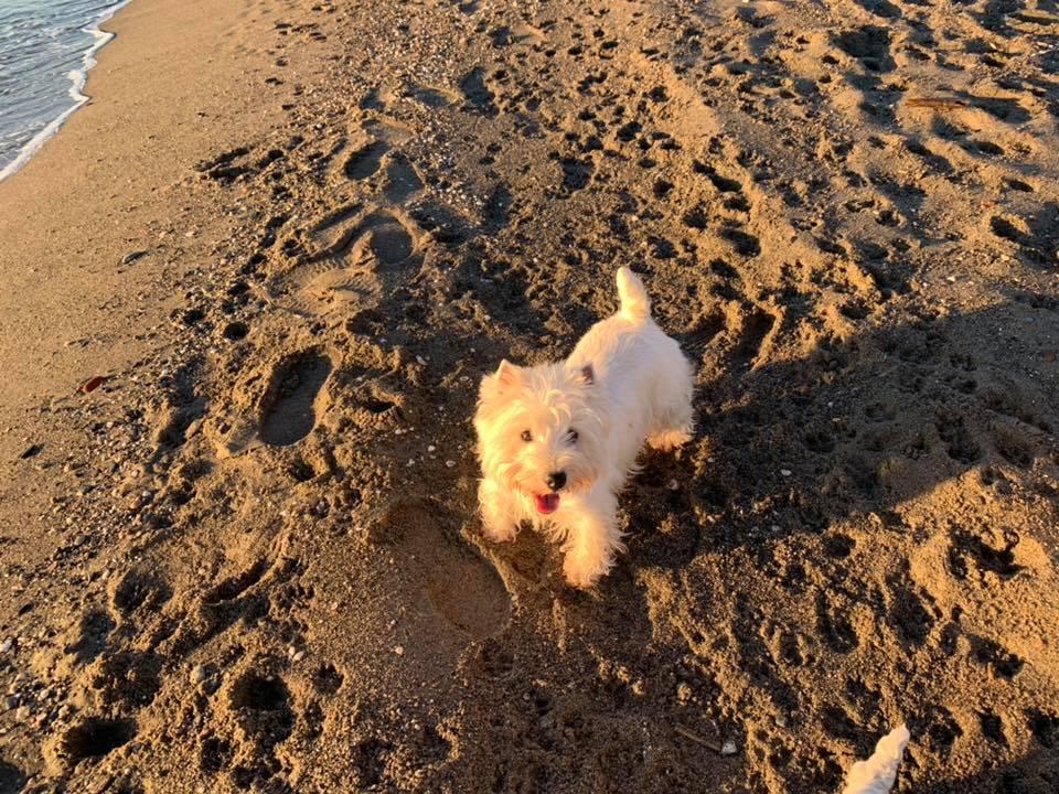 Westie en la playa